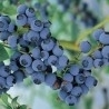 Bilberry Liqueur Taking Over Foreign Markets
